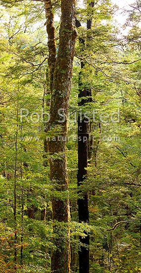 Red Beech forest interior, trees, trunks and leaves (Fuscospora fusca, Syn Nothofagus fusca). Vertical panorama, Maruia, Buller District, West Coast Region, New Zealand (NZ) stock photo.