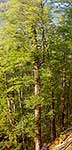 Red Beech forest interior