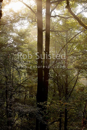Red Beech forest canopy and trees (Fuscospora fusca, Syn Nothofagus fusca), with early morning sunlight filtering through morning mist, Maruia, Buller District, West Coast Region, New Zealand (NZ) stock photo.