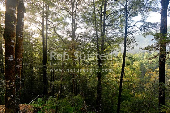 Red Beech forest canopy and trees (Fuscospora fusca, Syn Nothofagus fusca), Maruia, Buller District, West Coast Region, New Zealand (NZ) stock photo.