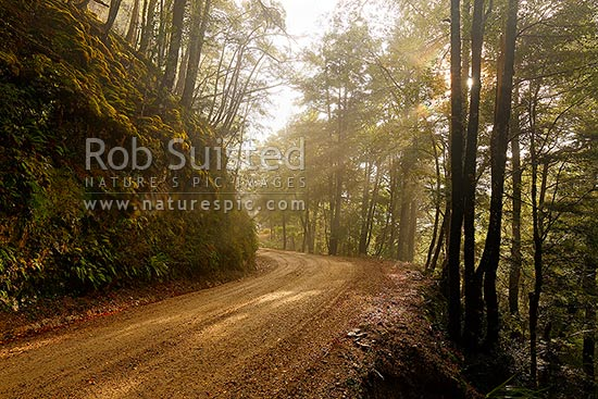 Forest road through morning misty forest, Red Beech forest and trees (Fuscospora fusca, Syn Nothofagus fusca). Suns rays filtering through mist and trees, Maruia, Buller District, West Coast Region, New Zealand (NZ) stock photo.