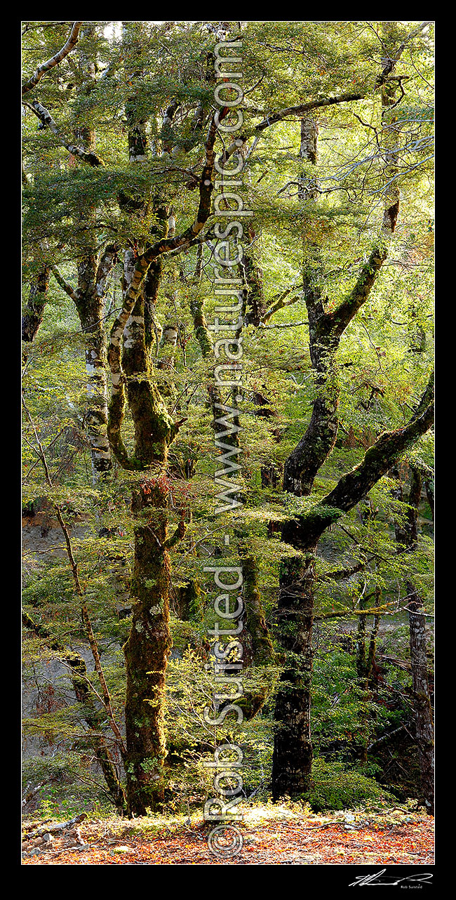 Image of Red Beech forest interior, trees, trunks and leaves (Fuscospora fusca, Syn Nothofagus fusca). Vertical panorama, Maruia, Buller District, West Coast Region, New Zealand (NZ) stock photo image