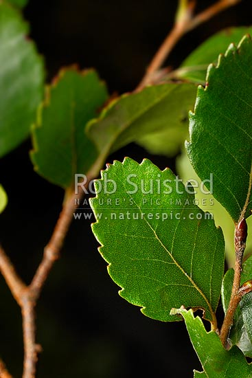 Hard Beech tree leaves (Fuscospora truncata, Syn Nothofagus truncata; Nothofagaceae), an endemic NZ native tree, New Zealand (NZ) stock photo.