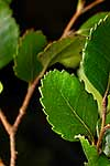 NZ Hard Beech leaves