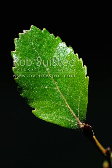 Hard Beech tree leaf (Fuscospora truncata, Syn Nothofagus truncata; Nothofagaceae), an endemic NZ native tree, New Zealand (NZ) stock photo.