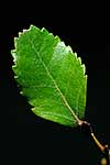 NZ Hard Beech leaf