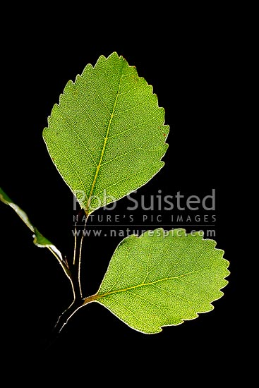 Hard Beech tree leaves backlit by sunlight (Fuscospora truncata, Syn Nothofagus truncata; Nothofagaceae), an endemic NZ native tree, New Zealand (NZ) stock photo.