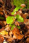 NZ Hard Beech seedling