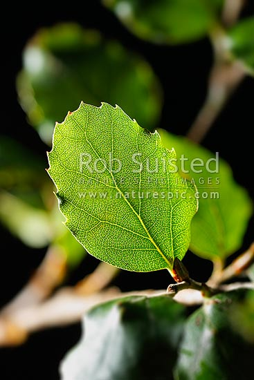 New Zealand Red Beech leaf (Fuscospora fusca, Syn Nothofagus fusca; Nothofagaceae) backlit by sunlight, an endemic NZ native tree, New Zealand (NZ) stock photo.