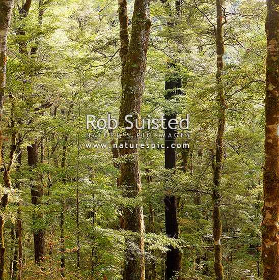 Red Beech forest interior, trees, trunks and leaves (Fuscospora fusca, Syn Nothofagus fusca). Square format, Maruia, Buller District, West Coast Region, New Zealand (NZ) stock photo.