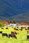 Dairy farming, West Coast