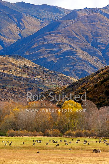 Merino sheep grazing on pasture with autumn coloured willow trees as background, Cardrona Valley, Queenstown Lakes District, Otago Region, New Zealand (NZ) stock photo.
