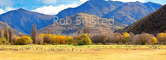 Merino sheep grazing on pasture with autumn coloured willow trees as background. Panorama, Cardrona Valley, Queenstown Lakes District, Otago Region, New Zealand (NZ) stock photo.
