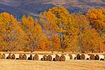 Round hay bales in paddock