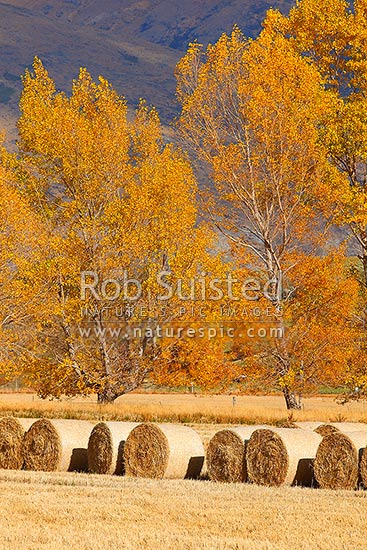 Round hay bales in paddock, with autumn coloured trees behind, Arrowtown, Queenstown Lakes District, Otago Region, New Zealand (NZ) stock photo.