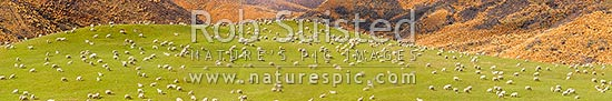 Large flock of sheep feeding on rolling grassland pasture, with red tussock behind. Lush farmland. Large panorama file, Mossburn, Southland District, Southland Region, New Zealand (NZ) stock photo.