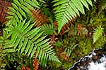 Native Prickly Shield Fern