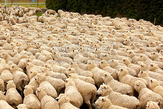 Sheep flock being herded (Ovis aries), Geraldine, Timaru District, Canterbury Region, New Zealand (NZ) stock photo.