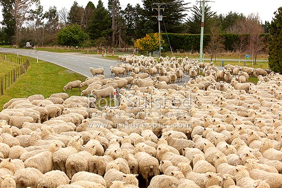 Sheep flock being herded along road by farmers (Ovis aries), Geraldine, Timaru District, Canterbury Region, New Zealand (NZ) stock photo.