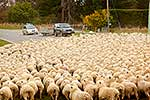Sheep flock being herded
