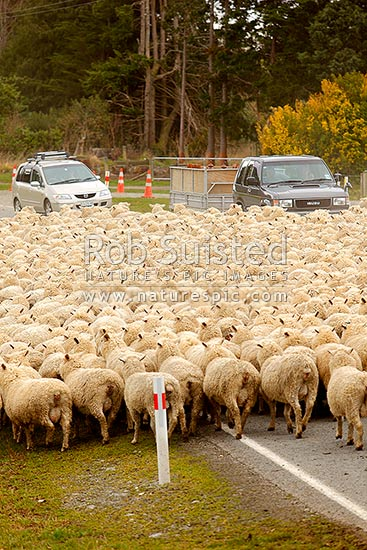 Sheep flock being herded along road by farmers past cars and traffic (Ovis aries), Geraldine, Timaru District, Canterbury Region, New Zealand (NZ) stock photo.