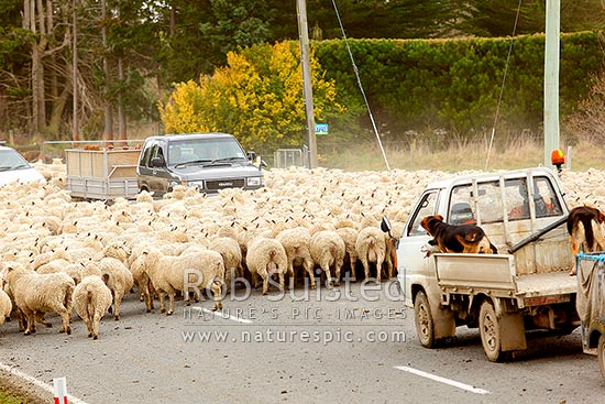 Sheep flock being herded along road by farmer and dogs in small truck, past cars and traffic (Ovis aries), Geraldine, Timaru District, Canterbury Region, New Zealand (NZ) stock photo.