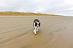 Border collie dog on beach
