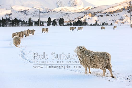 Sheep in snow. Merinos and Cheviot or Perendale rams in high country winter snow, Castle Hill, Selwyn District, Canterbury Region, New Zealand (NZ) stock photo.