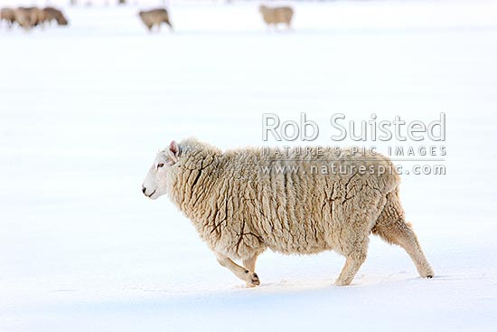 Sheep in snow. Cheviot or Perendale rams in high country winter snow, Castle Hill, Selwyn District, Canterbury Region, New Zealand (NZ) stock photo.