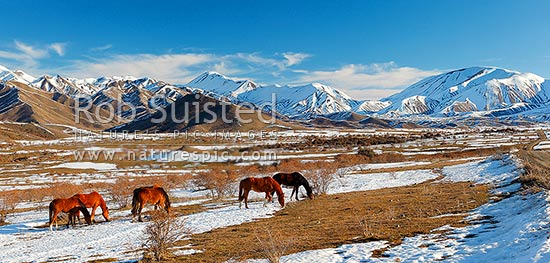 Molesworth Station unbroken horses grazing amongst winter snows in the Awatere headwaters. Barefell Pass and Rachel Range at right. Panorama, Molesworth Station, Marlborough District, Marlborough Region, New Zealand (NZ) stock photo.