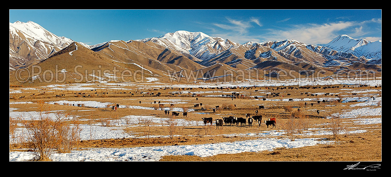 Image of Cattle amongst winter snows on Molesworth Station, Awatere headwaters. Panorama, Molesworth Station, Marlborough District, Marlborough Region, New Zealand (NZ) stock photo image