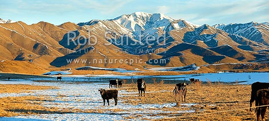 Cattle amongst winter snows on Molesworth Station, Awatere headwaters. Panorama, Molesworth Station, Marlborough District, Marlborough Region, New Zealand (NZ) stock photo.