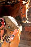 Stockman shoeing horse