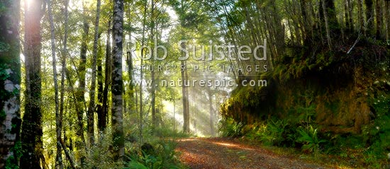 Moody forest road on a misty winter morning with sun rays streaming into beech forest. Altered dreamy copy of 40923, Buller, Buller District, West Coast Region, New Zealand (NZ) stock photo.
