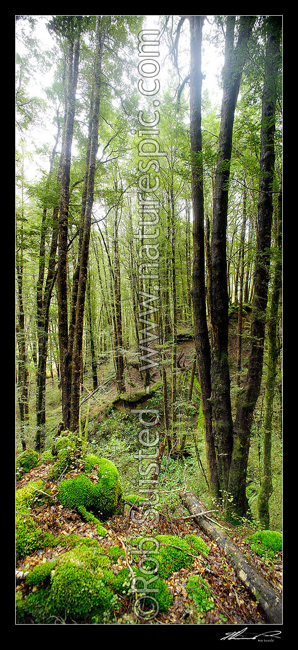 Image of Red Beech forest interior (Fuscospora fusca, Syn Nothofagus fusca) in Eglinton Valley, vertical panorama, Fiordland National Park, Southland District, Southland Region, New Zealand (NZ) stock photo image