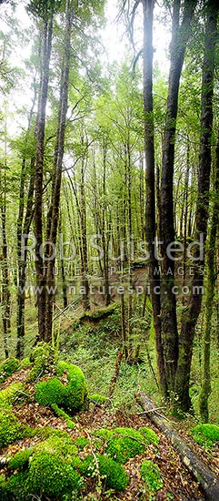 Red Beech forest interior (Fuscospora fusca, Syn Nothofagus fusca) in Eglinton Valley, vertical panorama, Fiordland National Park, Southland District, Southland Region, New Zealand (NZ) stock photo.