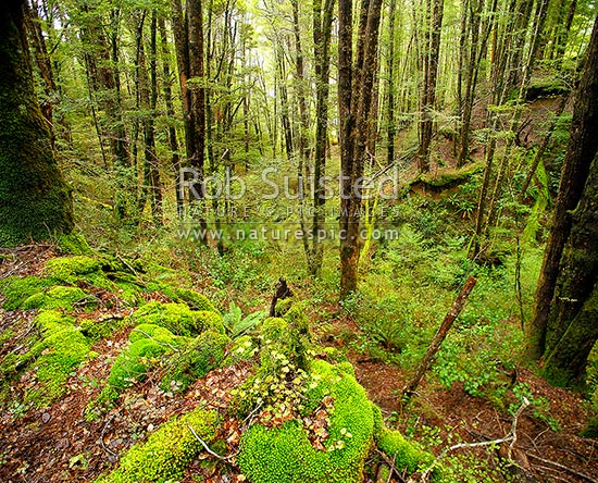 Red Beech forest interior (Fuscospora fusca, Syn Nothofagus fusca) in Eglinton Valley, with lush moss and seedlings in foreground, Fiordland National Park, Southland District, Southland Region, New Zealand (NZ) stock photo.