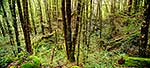 Red Beech forest - panorama