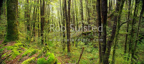 Red Beech forest interior (Fuscospora fusca, Syn Nothofagus fusca) in Eglinton Valley, panorama, Fiordland National Park, Southland District, Southland Region, New Zealand (NZ) stock photo.