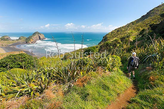 Walker descending down to O'Neill's Bay Beach from the Hillary Trail Te Henga walkway. Erangi Point at left, Bethells Beach, West Auckland, Waitakere City District, Auckland Region, New Zealand (NZ) stock photo.