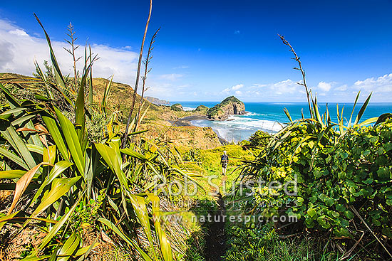 O'Neill's Bay Beach from the Hillary Trail Te Henga walkway with hiker descending towards Erangi Point, Bethells Beach, West Auckland, Waitakere City District, Auckland Region, New Zealand (NZ) stock photo.