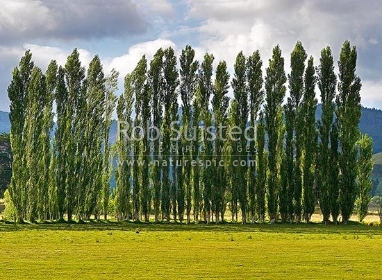 Row of poplar trees planted as a windbreak on rural farmland, Coromandel, Thames-Coromandel District, Waikato Region, New Zealand (NZ) stock photo.