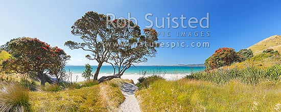 Otama Beach on the Coromandel Peninsula with summer flowering pohutukawa trees and flax. Great Mercury Island beyond. Large panorama, Otama Beach, Coromandel Peninsula, Thames-Coromandel District, Waikato Region, New Zealand (NZ) stock photo.