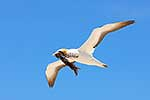 Gannet bird carrying seaweed