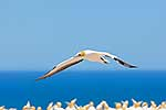 Gannet bird flying, Cape Kidnappers