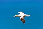 Gannet bird flying