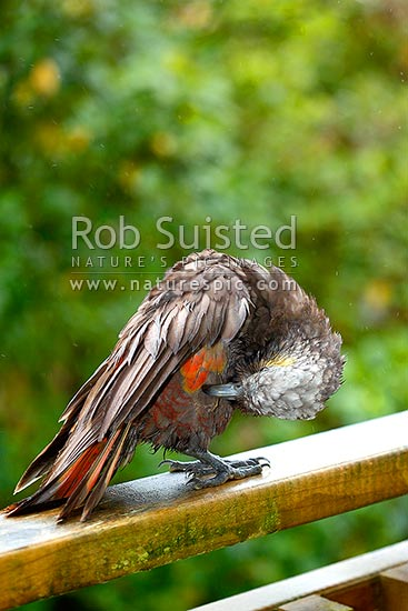 South Island Kaka bird (Nestor meridionalis meridionalis; Strigopidae), an inquisitive native parrot checking out a house and preening in the rain, Halfmoon Bay, Oban, Stewart Island District, Southland Region, New Zealand (NZ) stock photo.