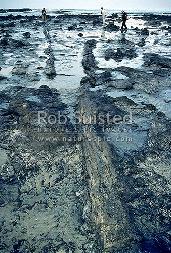 Petrified trees at Waikawa Bay, Catlins Coast, Otago. Beachcombers in distance, Catlins, Clutha District, Otago Region, New Zealand (NZ) stock photo.