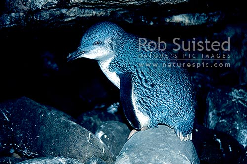 Little blue penguin in Cathedral caves (Eudyptula minor), Kapiti Island. Native to New Zealand, Catlins, Clutha District, Otago Region, New Zealand (NZ) stock photo.