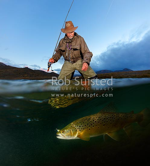 Trout fisherman with brown trout in Bowscale Tarn at twilight. Underwater over shot. Square format, Molesworth Station, Marlborough District, Marlborough Region, New Zealand (NZ) stock photo.